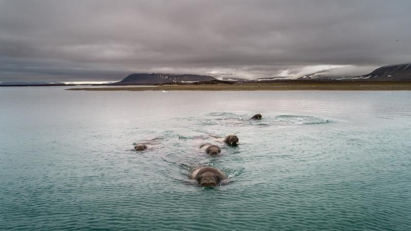 Walrus Aproach