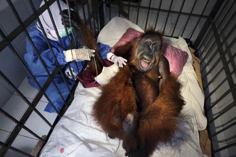 Saving Orangutans 7