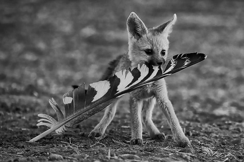 Fox & Feather