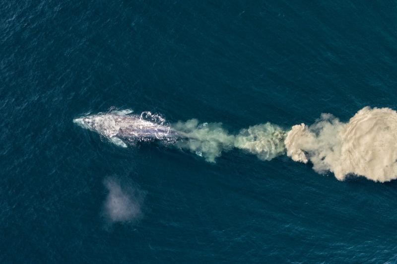 Grey (or gray) whale feeding