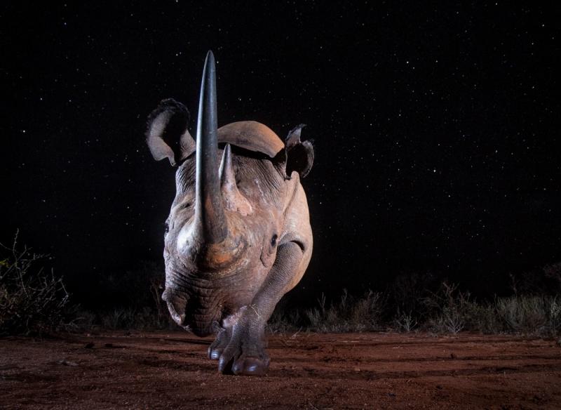 Black Rhino at Night