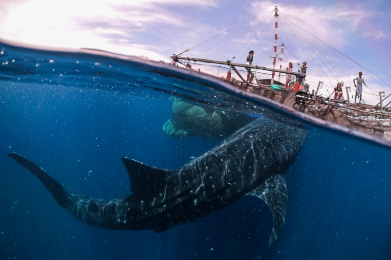 Whale shark encounter in West Papua