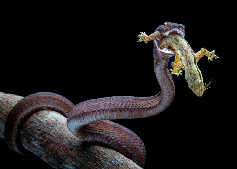 Red Purpo Viper 2