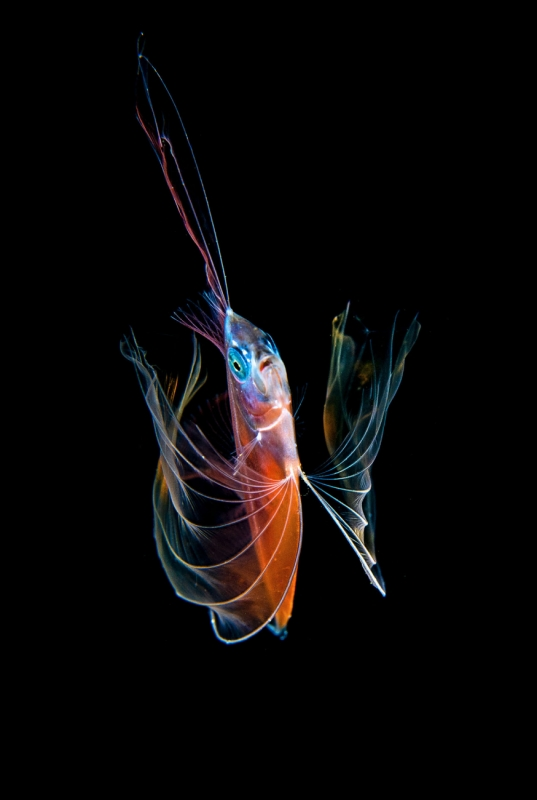 Angel of the Sea - Desmodema polystictum Deal fish, Polka-dot ribbonfish, Spotted ribbonfish by Michael AW041 12 18