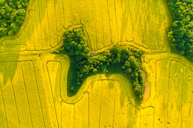 Poodle in Rapeseed