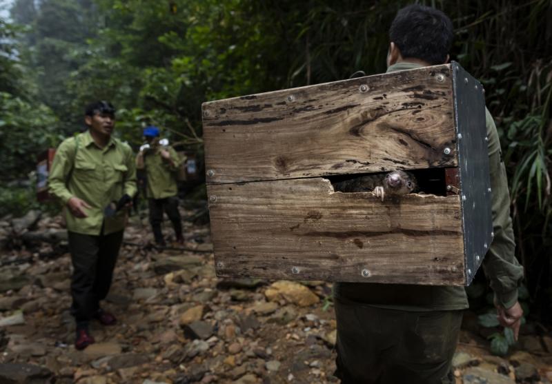 Pangolins in Crisis