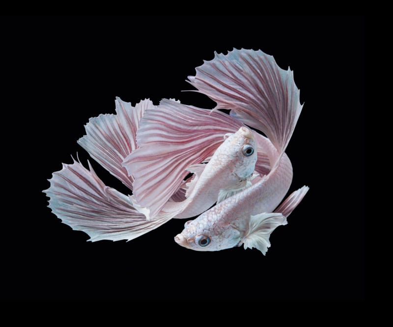 Two Betta Fish