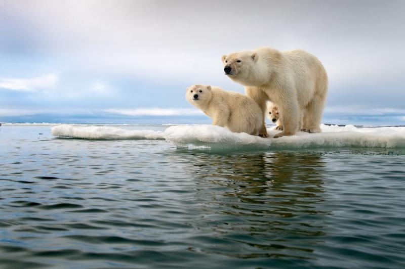 Polar Bear Family in a Melting World