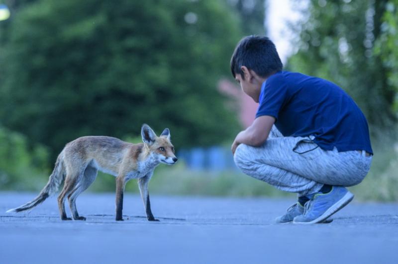 The fox whisperer of Spandau