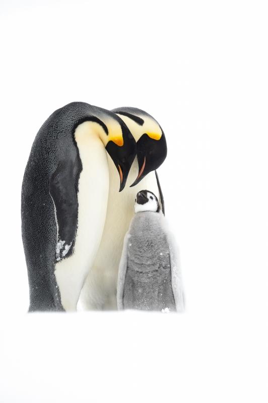 Emperor Penguin Parenting