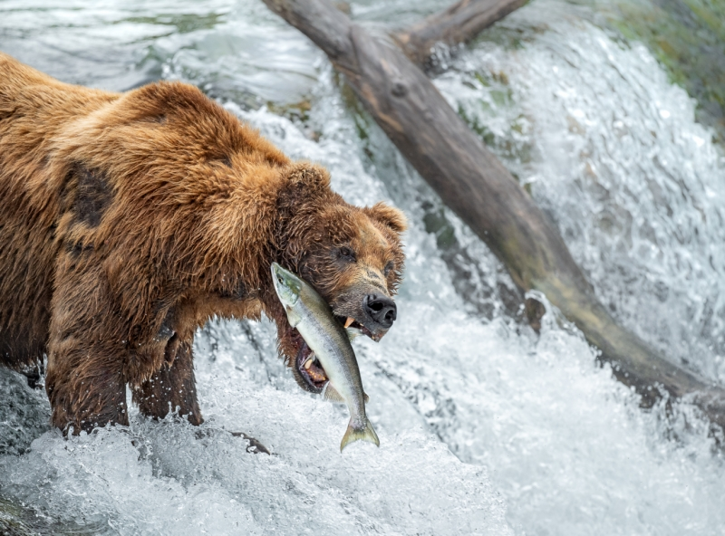 Grizzly Bear Hunting Fish 2