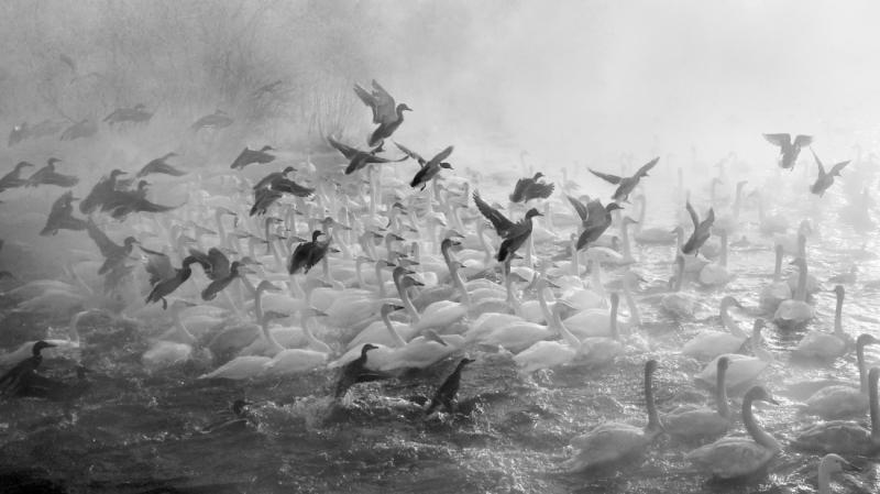 Swans lake