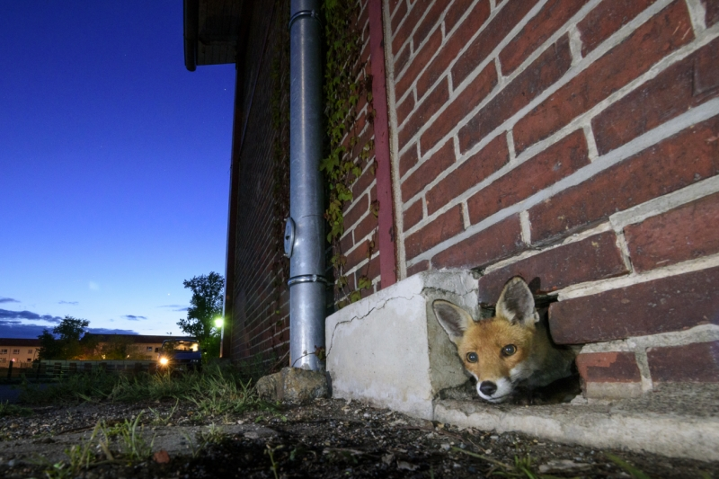 A fox in a wall