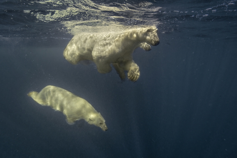 in water with Polar bear family