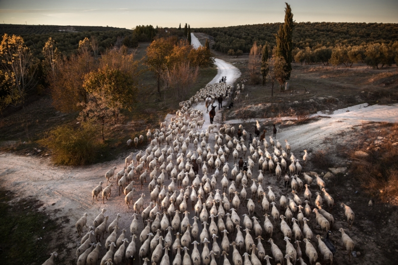 Transhumance in Spain