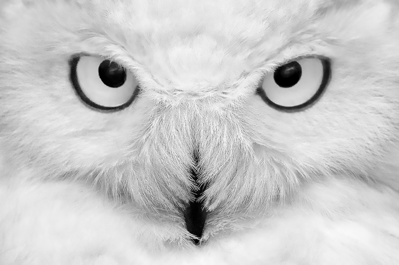 The Eyes of the Snowy Owl