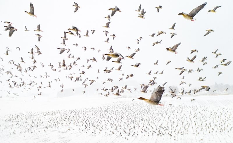 Pink-Footed Geese Meeting the Winter