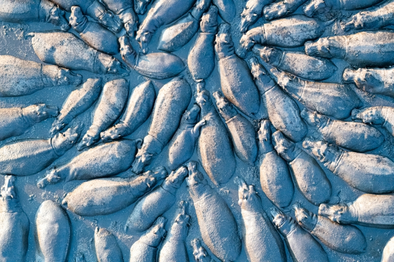 Hippopotamus group from above
