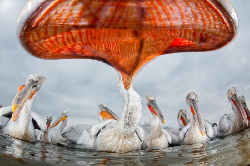 Pelican Perspective