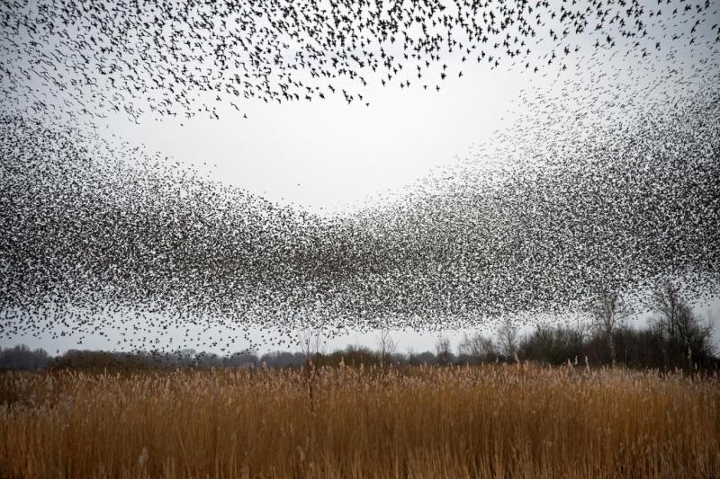 Plenty of starlings